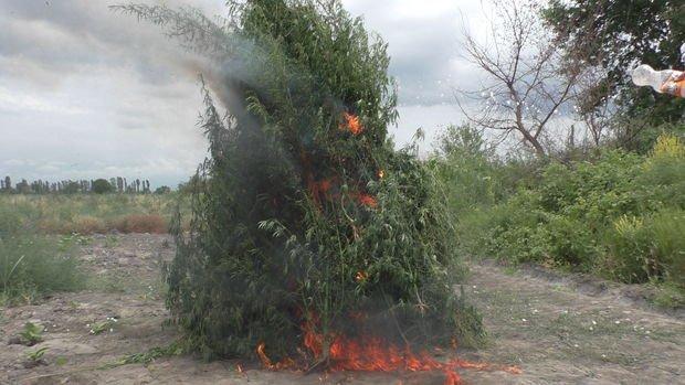 Zaqatalada beş ton narkotik vasitə məhv edildi